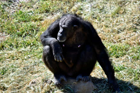 the female chimpanzee is sitting on the grass resting in the sun 版權商用圖片
