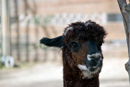 this is a close up of a brown, black and white alpaca Banco de Imagens
