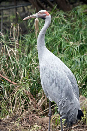 the brolga is a tall gray bird with long legs