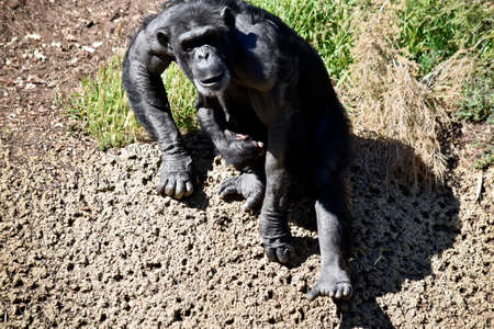 the chimpanzees mother is sitting with her baby on her lap