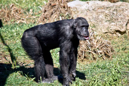 the female chimpanzee is walking along the grass