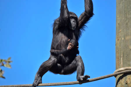 the young chimpanzee is holding his mothers stomach while she is climbing on the ropes