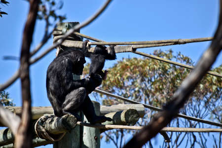 the mother chimpanzee watches as her son attempt to climb and play