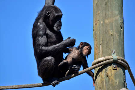 the chimpanzees mother is sitting with her baby next to her on the rope