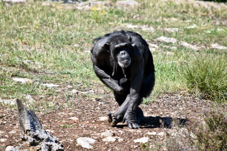 the chimpanzees mother is walking holding her baby. Stock Photo