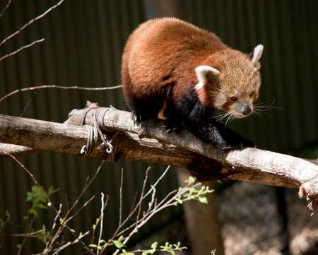 il panda rosso ha una lunga coda e artigli affilati