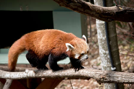 the red panda has a long tail and sharp claws
