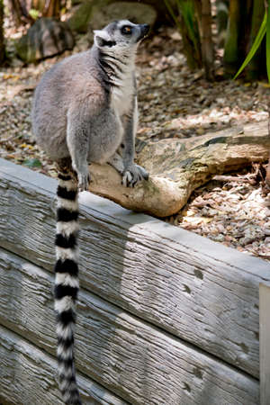 the ring tailed lemur is sitting on a wall showing his long striped tail