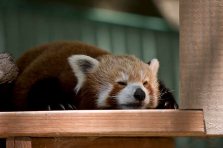 the red panda is on a platform resting