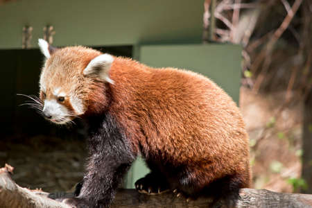 this is a close up of a red panda Stock Photo