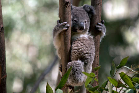 the joey  koala is holding two trees with his sharp claws