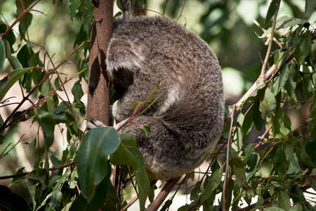 the koala is sleeping in the fork of a tree