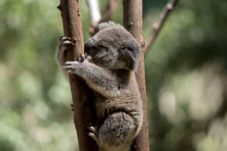 the young koala is climbing a tree Stock Photo - 133688072