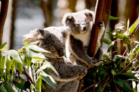the mother koala and joey are in a gum tree Stock Photo