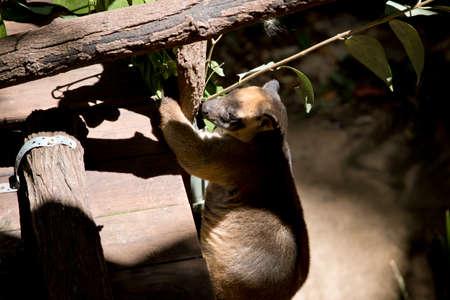 the Lumholtz Tree kangaroo is climbing up to a tree Stock Photo - 133688003
