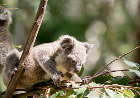 the joey koala is getting some leaves to eat