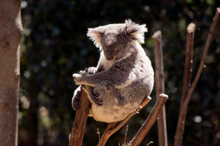 the koala is resting in the fork of a tree