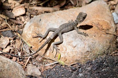 young water dragon lizard