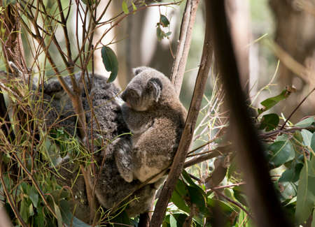the mother koala carries her joey on her back