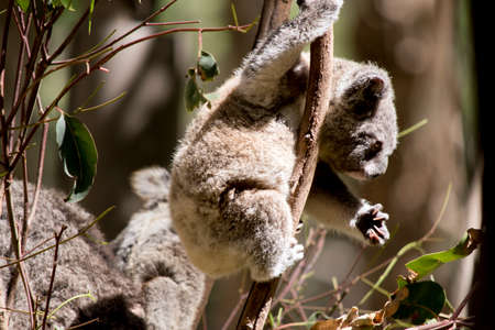 the young koala has very sharp claws for climbing Stock Photo - 133687950
