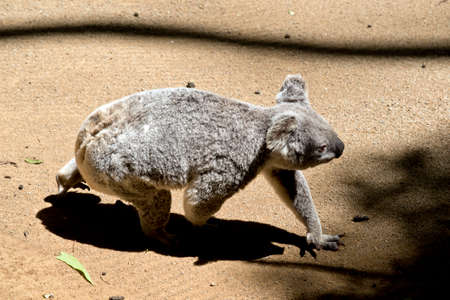 side view of a koala walking on the ground Stock Photo - 133687868