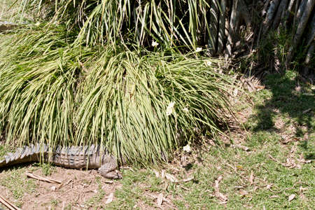 the fresh water crocodile is waiting in the reeds for an animal to pass