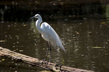 the great egret is standing on a log over the water