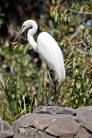 the great egret is standing on a rock looking out for preditors
