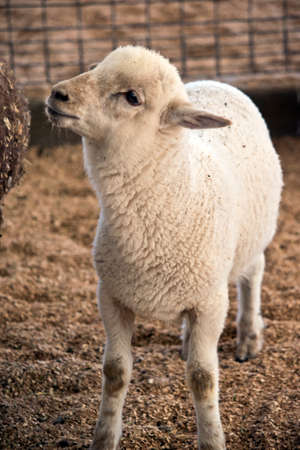 this is a close up of a lamb