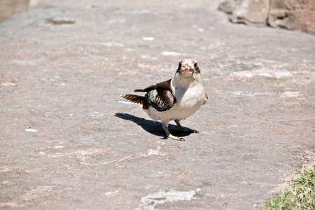 the laughing kookaburra is eating a bit of food