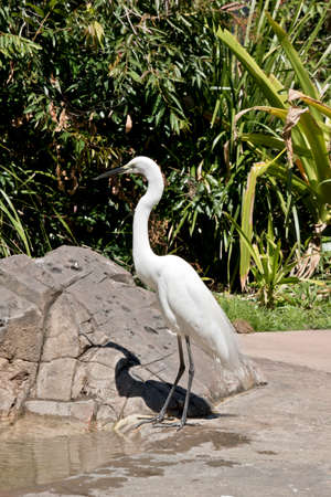 the great egret is standing next to a pond