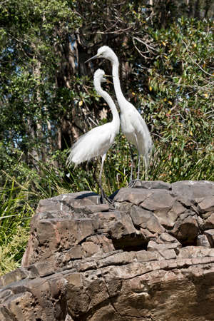 the two great egret is standing on a rock looking out for preditors Banco de Imagens