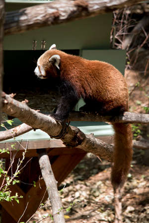 the red panda is climbing up a log