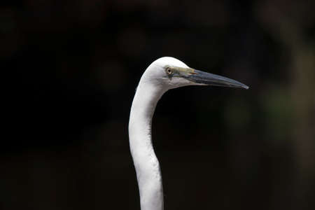 this is a side view of a great egret