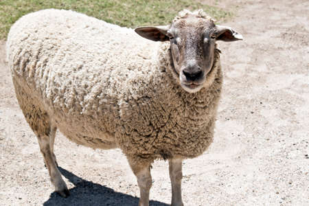 the sheep is in the paddock wondering around Reklamní fotografie