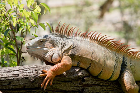 this is a close up of a green iguana Stock Photo