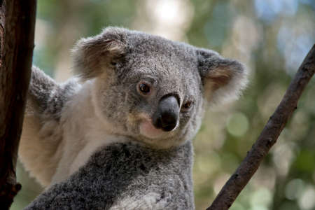 der koala sucht blätter zum fressen Standard-Bild