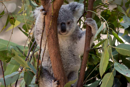 the joey koala is holding onto two branches