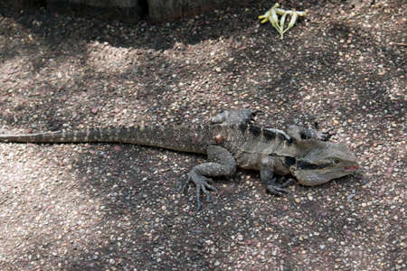 this is a side view of a eastern grey water dragon