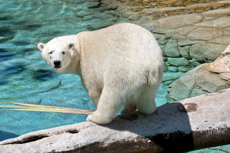 the polar bear is looking over hus shoulder