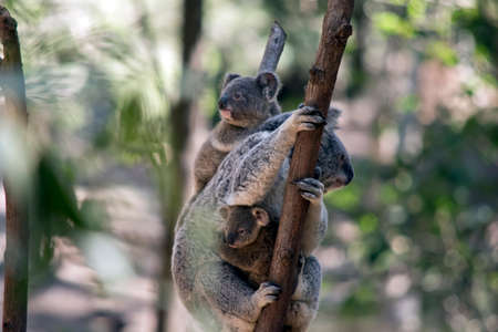 the mother koala is carrying her joey on her back and one for the front