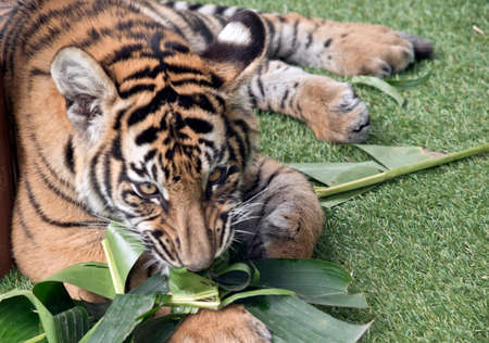 the tiger cub is 6 months old