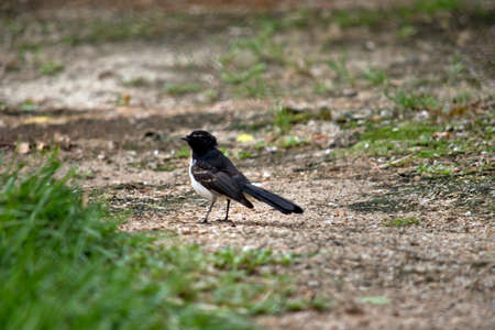 the willy wagtail is walking on the grass feeding on insects