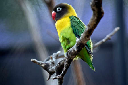 this is a close up of a Black Masked Lovebirds or  Yellow Collared Lovebirds