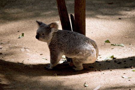 the koala is changing trees  looking for leaves to eat Stock Photo