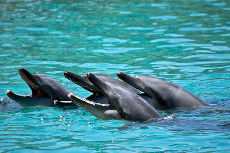 this is a pod of 4 bottle nosed dolphins Foto de archivo