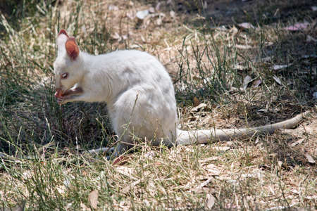 the albino wallaby is eating a carrot