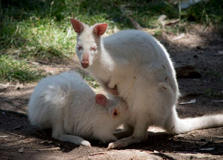 the albino red necked wallaby is drinking from the pouch