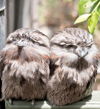 the two twany frogmouths are resting together Stock Photo