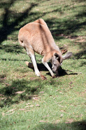 the male red kangaroo is eating grass in a field